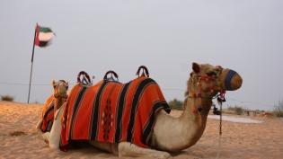 1_Camel