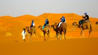 camels-in-desert